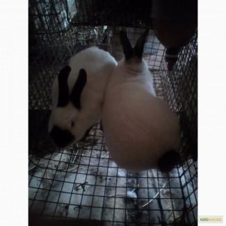 Кролики Калифорнийска порода