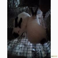Кролики Калифорнийска порода и мясо