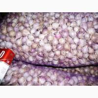 Продам однозубку семена чеснока сорт Софиевский