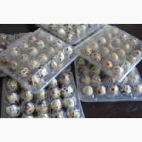 Продам домашні перепелині яйця