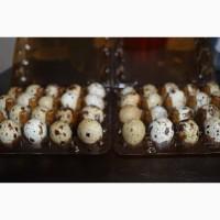 Продам домашні перепелині яйця та охолоджене м#039;ясо птиці м.Хмельницький