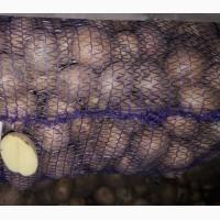 Доставка от 40 кг Новой почтой семенной картофель сорт Ривьера