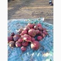 Продам редис сортов: магерланская и красная зимняя