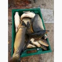 Живая рыба зарыбок