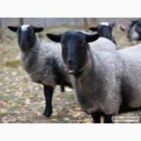 Оптовые продажи овец