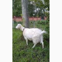 Коза породи Ламанча