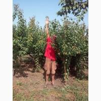 Продам саджанці абрикосу сорт Пріція