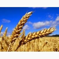 Озимая пшеница Ребелл