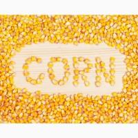 Закуповуємо у с/х виробників кукурудзу від 100т