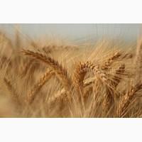 Закупляємо пшеницю поганої якості по всій Україні