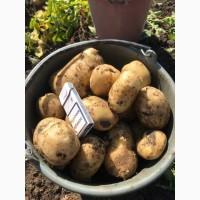 Продам картофель оптом с поля