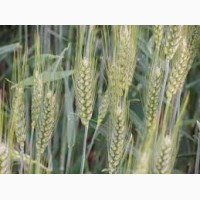Продам насіння озимої пшениці АДЕССО (Probstdorfer Saatzucht, Австрія)