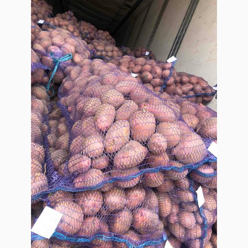 Продам товарный картофель 75 тонн, Львовская обл.