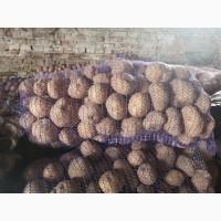 Продам товарный картофель сорта курас