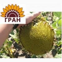 НВФ «Гран» пропонує насіння соняшнику сербської селекції