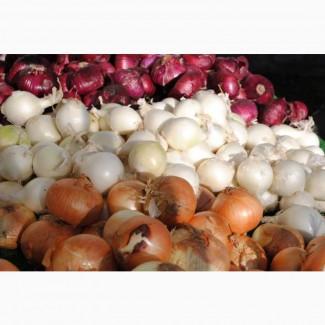 Купим репчатый лук столовый, салатный и для выгонки пера