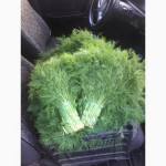 Продажа свежей зелени оптом