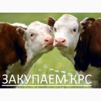 Закупаем КРС коров быков телок свиней