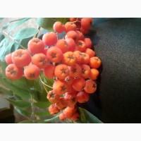 Купим сухие плоды боярышника, шиповника, красной рябины.Самовывоз