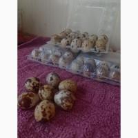 Продам свіжі домашні яйця перепелів