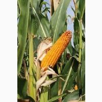 Насіння кукурудзи Агральп 200(ФАО 280) від компанії Saatbau