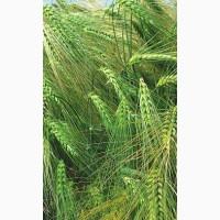 Пропоную купити насіння озимого ячменю сорту Луран 1-Р