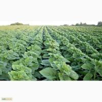 Семена подсолнечника Бонд гранстар ВНИС