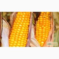 Купить семена гибридов кукурузи Гран 310