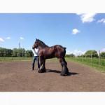 Лошади породы Брабансон