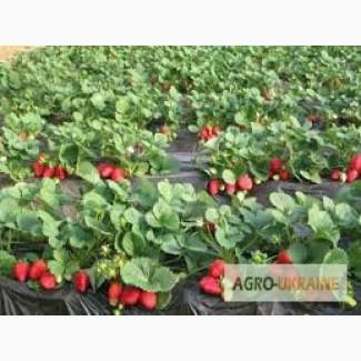 Саджанці клубніки (полуниці, суниці садової) Marmolada