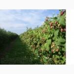 Продам саженцы малины сорта Полка Полана