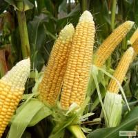 Закупаем кукурузу дорого 2ф