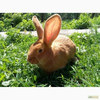 Кролики.Молодняк.Вєнский голубий, Боргунці.Полтавське срібло