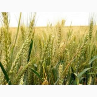 Куплю пшеницу. Самовывоз