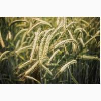 Продам жито рожь KWS сорт пикассо
