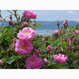 Продам саженцы розы эфиромасличной in vitro (опт)