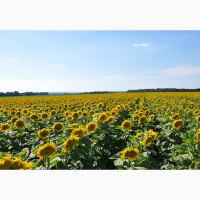 Семена подсолнечника Лимит. Стойкий к евролайтингу