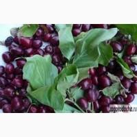 Саженцы кизила(вегетативные отводки)