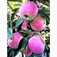 Продаємо саджанці плодових культур