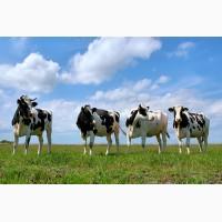 Продам молоко коровье на постоянной основе от 150 л