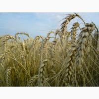 Купим пшеницу фуражную оптом с места от 25-500т.любая форма расчёта.качество-база