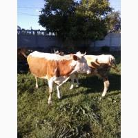 Продам корови різного віку