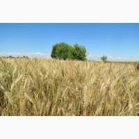 Пшеница озимая Мидас селекция Пробцтдорфер Заатцухт (Австрия)