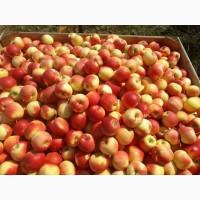 Продам сортовое яблоко