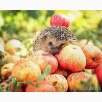 Продажа яблок оптом в больших количествах
