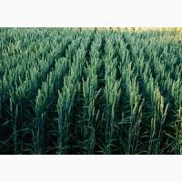 ПРОДАМ Озиму Пшеницю Колонію(Лімагрейн)Франція. 1-репродукції