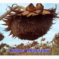 Семена подсолнечника МЕРКУРИЙ_OR (ТД Гермес)