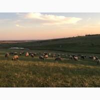 Романовские овцы, бараны, ярки