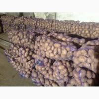 Продам товарный картофель сорт Скарбниця