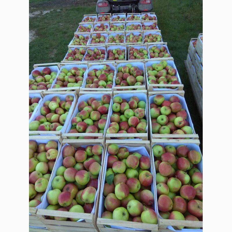 Продам яблука з холодильника, Винницкая обл.